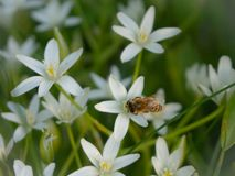 A blooming white star-of-Bethlehem in the garden. A bee sits on a flower. Sunset sun. A blooming white star-of-Bethlehem in the garden. Sunset sun royalty free stock images