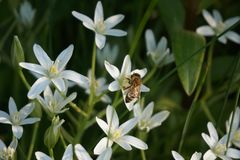 A blooming white star-of-Bethlehem in the garden. A bee sits on a flower. Sunset sun. A blooming white star-of-Bethlehem in the garden. Sunset sun royalty free stock image