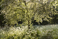 Blooming white tree and Cow parsley in spring. With backlight evening sunshine Stock Photos