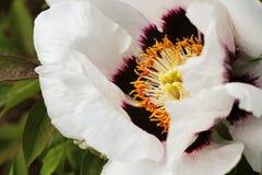 Blooming white tree peony. Big white peony in the spring season Stock Photos