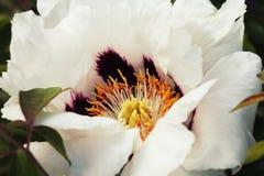 Blooming white tree peony. Big white peony in the spring season Royalty Free Stock Photos