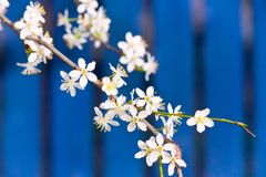 Blooming white tree in spring. On blue fence background royalty free stock images