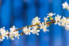 Blooming white tree in spring. On blue fence background - romantic springtime flowers stock image