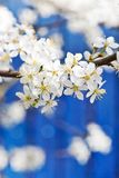 Blooming white tree in spring. On blue fence background stock photos