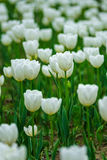 The blooming white tulip in the spring. Stock Photography