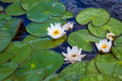 Blooming white water lilies with green leaves Stock Image