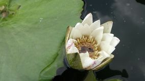 Blooming white water lily and green leaves in cold pond in the park Stock Photos