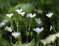 Blooming white wild flowers Royalty Free Stock Photography