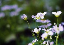 Blooming white wild flowers Stock Image