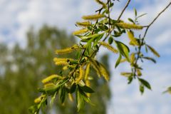 Blooming white willow branch against the blue sky stock photo