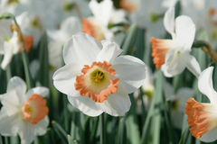 Blooming white-yellow narcissus. Narcissus poeticus. Close up Royalty Free Stock Photos