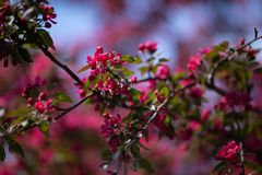 Blooming wild apple tree in May royalty free stock photo