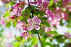 Blooming wild apple-trees Stock Image