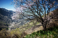 Blooming wild apricot tree Royalty Free Stock Photography