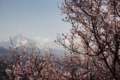 Blooming wild apricot tree Royalty Free Stock Image