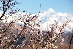 Blooming wild apricot tree Stock Photo