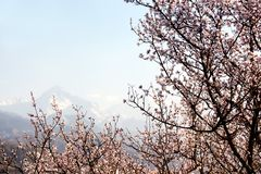 Blooming wild apricot tree Stock Images