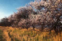 Blooming wild apricot trees Stock Photos