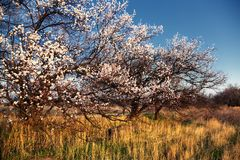 Blooming wild apricot trees Stock Image