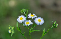 Blooming wild camomiles with bug closeup Royalty Free Stock Photography