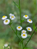 Blooming wild camomiles closeup Royalty Free Stock Image
