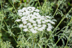 Blooming wild carrot flower Stock Photos