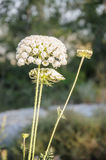 Blooming wild carrot flower Stock Images