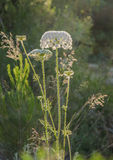 Blooming wild carrot flower Royalty Free Stock Images