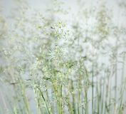 Blooming wild cereal. Macro of wild cereal grass Poa annua bloom over panicles background Royalty Free Stock Photos