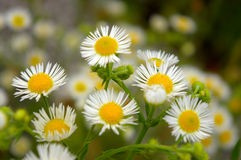 Blooming wild chamomile flower Stock Photo