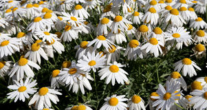 Blooming wild chamomile flowers Stock Image