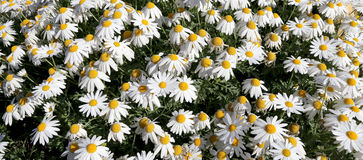 Blooming wild chamomile flowers Royalty Free Stock Photo