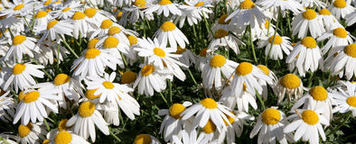 Blooming wild chamomile flowers Stock Images