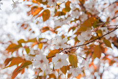 Blooming wild cherry blossom Royalty Free Stock Image