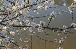 Blooming wild cherry. Early spring. royalty free stock photos