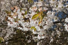 Blooming wild cherry Royalty Free Stock Images