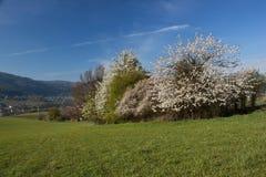 Blooming wild cherry Stock Photo