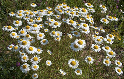 Blooming wild daisies Stock Photo