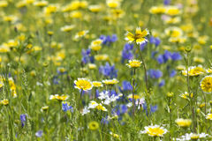 Blooming wild flowers Stock Image