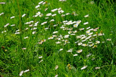 Blooming wild flowers. On the meadow at spring time stock image