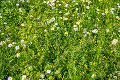 Blooming wild flowers on the meadow at spring time Royalty Free Stock Photo