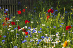 Blooming wild flowers on the meadow at summertime. Blooming wild poppies, cornflower and chamomile on the meadow at summertime stock photo