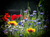 Blooming wild flowers on the meadow at summertime Royalty Free Stock Photography