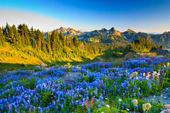 Blooming wild flowers, Mount Rainier, Washington Royalty Free Stock Images
