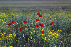 Blooming wild flowers and red poppies in steppe Royalty Free Stock Image