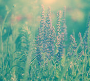 Blooming wild flowers during sunrise. Royalty Free Stock Image