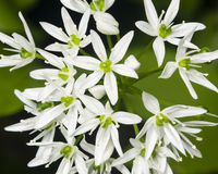 Blooming Wild Garlic, Allium ursinum, flowers close-up, selective focus, shallow DOF Royalty Free Stock Images