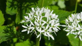 Blooming Wild Garlic or Allium ursinum, flowers in weed close-up, selective focus, shallow DOF stock images