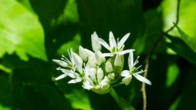 Blooming Wild Garlic or Allium ursinum, flowers in weed close-up, selective focus, shallow DOF royalty free stock photo