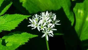 Blooming Wild Garlic or Allium ursinum, flowers in weed close-up, selective focus, shallow DOF royalty free stock image